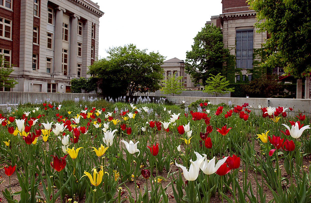 Tulips blooming on East Bank