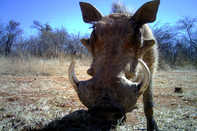 Warthog photo