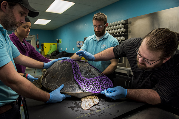 Students fit the exoshell on the sea turtle's rear end