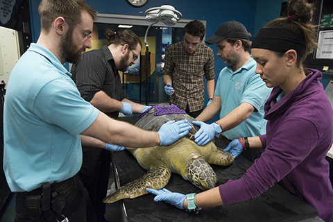 Students fit Seemore the sea turtle with a new exoshell