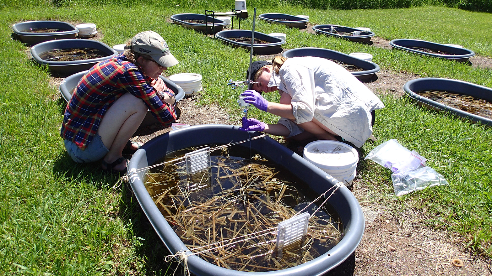 researchers studying wild rice